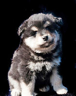 Black tan and white Finnish Lapphund puppy dog