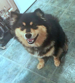Pretty young black and tan Finnish Lapphund full moon litter