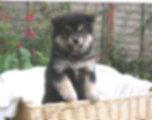 7-week-old Finnish Lapphund puppy in a basket summertime.jpg