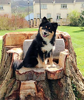 Black tan & white female Finnish Lapphund, young Lapphund bitch, black tricolour, Finnish Lapponnian Dog, dog sitting on a tree stump