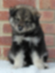 Black wolf sable cute fluffy male puppy dog at 7 weeks old sitting on white faux fur with red brick background