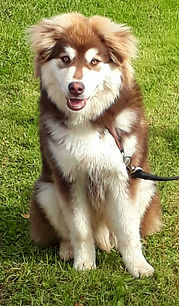 Brown domino grizzle Finnish Lapphund puppy, 6 months old, sitting wth a black lead and smiling
