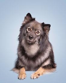 Wolf sable Finnish Lapphund sire Lapptoppens Herax (Yogi) dam Herding Instincts Nova Niikuneiti