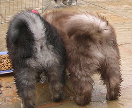 Finnish Lapphund puppy bottoms and tails