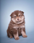 Brown tan and white Lapponia Finnish Lapphund puppy
