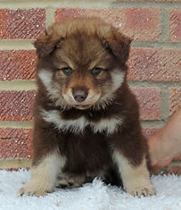 Brown tan & white Finnish Lapphund puppy bitch, cute an fluffy with a very serious face, on white faux fur with brick background