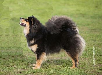 Finnish Lapphund showdog Richmond Championship Dog Show September 2017