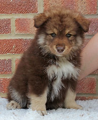 Brown tan and white cute fluffy Finnish Lapphund puppy 7 weeks old on white fur with brick background