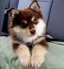 Brown Finnish Lapphund puppy with green eyes traveling on a green towel in the back of the car on grey seats
