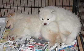 Baby Finnish Lapphund polar bear girls