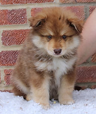 Brown wolf sable and white male Finnish Lapphund puppy dog at 7 weeks old, sitting on white polyester fur with red brick background