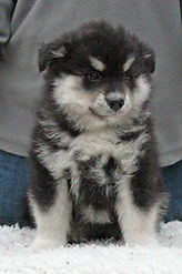 Lappy puppy, cute and fluffy, get your fluff right here