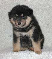 Black and tan Finnish Lapphund fluffy puppy dog 6 weeks old