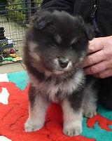 Arianrhod Finnish Lapphund female puppy