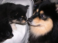 Finnish Lapphund adult greeting puppy