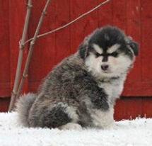 Domino Finnish Lapphund puppy, grizzle, sire Lapinlumon Kuuraturkki, dam Infindigo Keksi