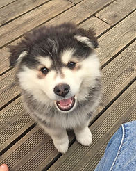 Black and white domino grizzle cute fluffy Finnish Lapphund puppy growing new adult teeth and losing baby teeth, white flash, badger, smiley puppy