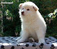 Cream Finnish Lapphund puppy dog sitting on a box in the sun