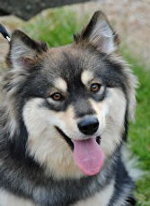 Emmi, wolf sable Finnish Lapphund bitch, pretty girl, beautiful Finnish Lapphund dog, spitz type dog, reindeer herding dog