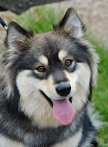 Wolf sable Finnish Lapphund, the Treasure's Emmi.  Always smiling dog.