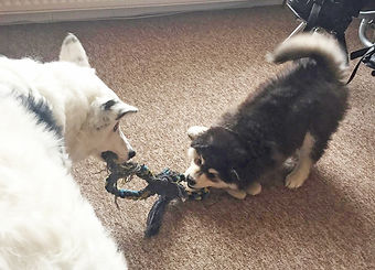 Cute Finnish Lapphund puppy playing tug with white Collie cross, puppy fun and games