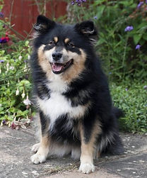 Black tan and white Finnish Lapphund female Swedish import