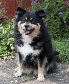Black tan and white Finnish Lapphund bitch from Kennel Black Blossom in Sweden.