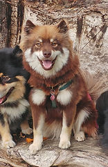 Brown wolf sable Finnish Lapphund bitch sitting on a log