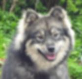 Wolf sable Glenchess Finnish Lapphund bitch