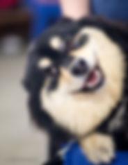Funny Finnish Lapphund smilig face