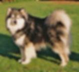 Finnish Lapphund Champion Glenchess Ilolas
