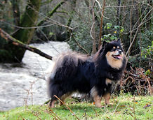 Finnish Lapphund dog posing in nature by a river