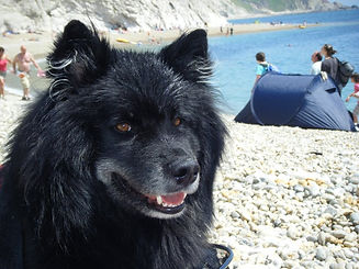 Diesel black and white Finnish Lapponian dog at the beach.jpg