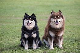 Siblings black tri and brown tri Finnish Lapphunds