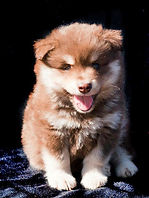 Brown tan and white Finnish Lapphund puppy dog