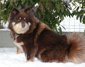 Brown tan & white Finnish Lapphund bitch in the snow, France