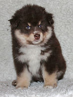 Brown tan and white Finnish Lapphund fluffy puppy bitch 6 weeks old