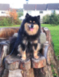 Black tricolour male Finnish Lapphund dog sitting on a tree stump