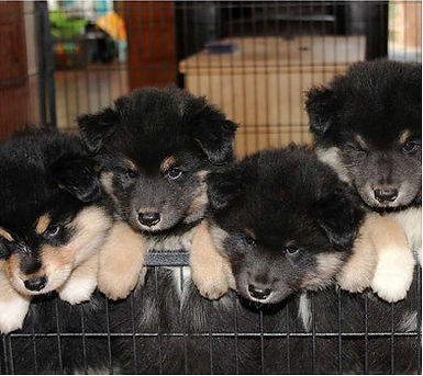 Cute fluffy Finnish Lapphund puppies