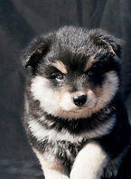 Black tricolor Finnish Lapphund puppy