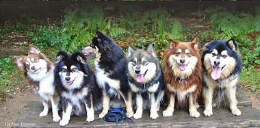 Multi coloured Finnish Lapphunds