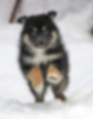 Finnish Lapphund puppy playing in the snow
