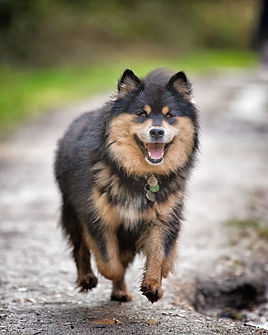 Black tan & white smiling Finnish Lapphund running.jpg