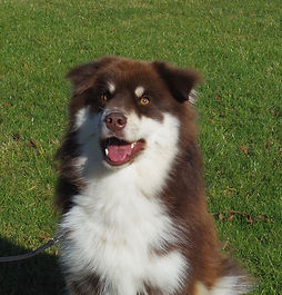 Brown and white Finnish Lapphund, tipped ears
