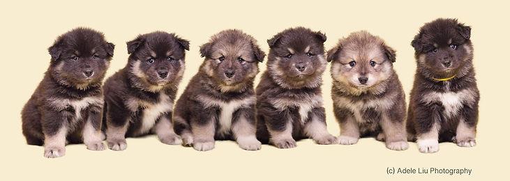Finnish-Lapphund-puppies-6-weeks-old.jpg