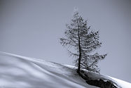 die_lärche_in_der_winterlandschaft-1.jpg