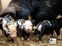 19Feb27 Petuna's Piglets (2).jpg