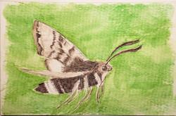 #177 Prairie Sphinx Moth