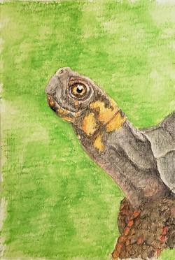 #279 Bog Turtle