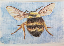 #111 Variable Cuckoo Bumblebee